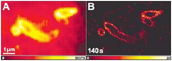 Figure 2: Imaging E. coli Conventional (A) and PALMIRA (B) image of a 200 nm thick cryosection of cytoplasmic membrane labelled E. coli (from: A. Egner et al., Biophys J, 2007)