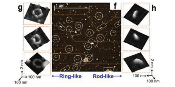AFM images, rod and ring like structures