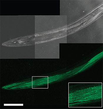 Live worm dCALM confocal imaging of activated CD4-split GFP at the surface of body-wall muscles