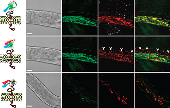 CALM-spFRET confocal imaging of CD4-split GFP in live C. elegans