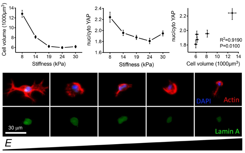 Graphs of cell volume and YAP nucleus/cytoplasm localization ratio versus stiffness, and resulting dependence of nuc/cyto YAP on cell volume; immunofluorescence images of cells in different stiffness environments.