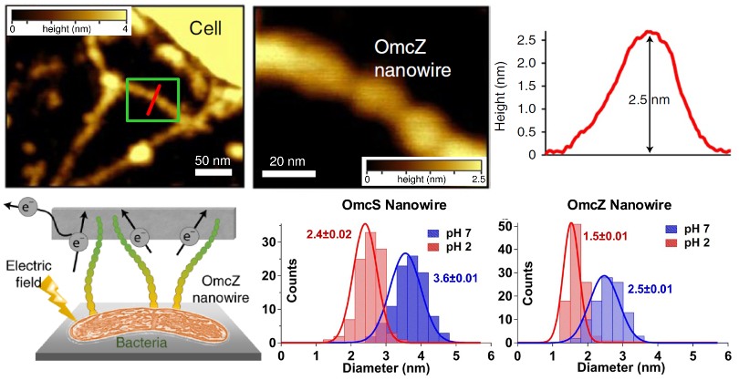 (top) Topography images of OmcZ nanowires and line section across the red line; (bottom left) conceptual drawing of bacteria, OmcZ nanowires, and electron transport in an electric field; (bottom right) histograms of OmcS and OmcZ nanowire diameter at pH 2 and pH 7 as measured from topography images.
