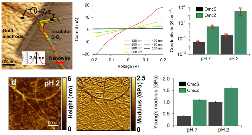 (top) AFM current experiments showing (left) schematic, (center) I-V curves measured at the color-coded points in the schematic, and (right) conductivity of OmcS and OmcZ nanowires at pH 2 and 7; (bottom) nanomechanical measurements showing (left) topography and modulus maps (right) and Young's modulus for OmcS and OmcZ nanowires at pH 2 and 7.