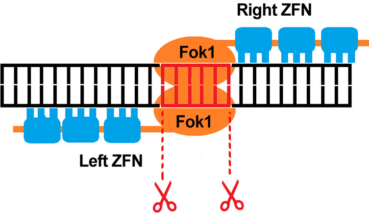ZFNs are typically used to knockout gene functions due to insertions and deletions they can create, thereby causing disruption to coding frames