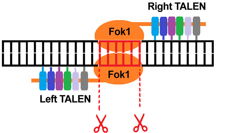 TALENS are well suited to gene editing applications such as the repair of specific genes, or insertion of gene mutations