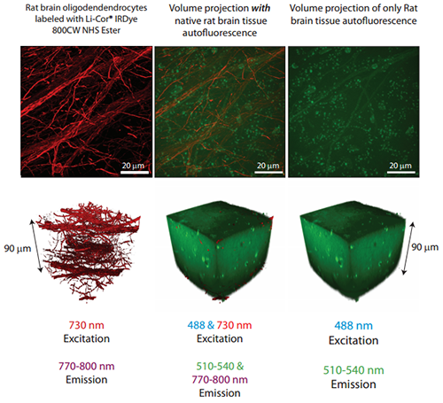 90 mm thickness of an aged rat brain slice containing oligodendrocytes labeled with LiCor®IRDye 800CW NHS Ester has been imaged in 3D with 730 nm excitation and >785 nm emission.