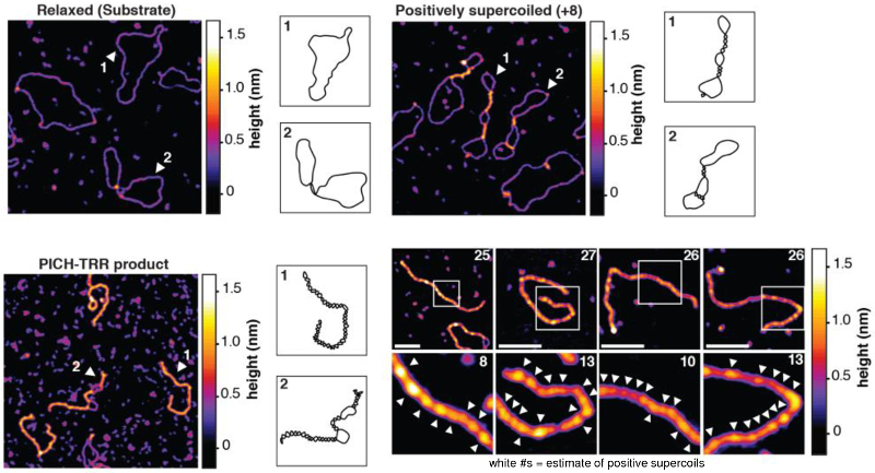 Topography images of relaxed substrate, positively supercoiled marker, and PICH-TRR reaction product; cartoons of molecular conformations; topography images of PICH-TRR reaction products at higher magnification.