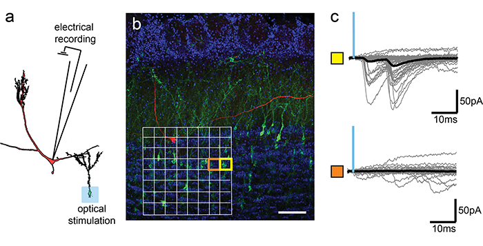 Using light to demonstrate the plasticity behind memory