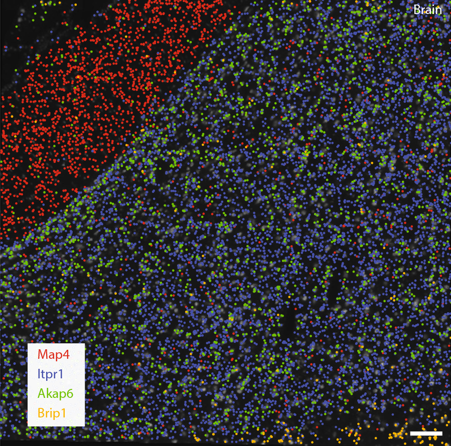 Decoded transcript locations of selected genes are overlaid on stitched images taken with Sona 4.2B-11.
