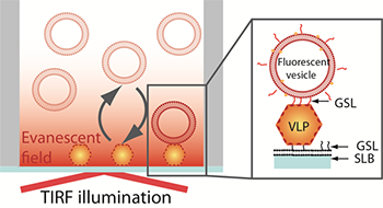 Schematic representation of the sandwich assay setup.  The particles are captured onto a bilayer containing 10 % H type I glycosphingolipid (GSL) recognising the VLPs with high specificity.  The fluorescence signal is generated TIRF illumination of the sensor-bound rhodamine-labeled vesicles containing 5% H type 1GSL